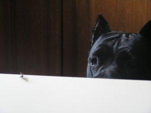 Cane Corso Little Brown Dog Blog